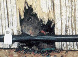 Rats Pest Control Malaysia | Ways To Exterminating Rats